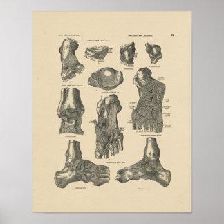 Vintage Ankle Joint Anatomy 1880 Print