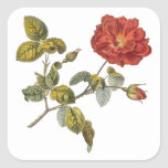 Vintage antiguo rojo hermoso de Rosa Gallica subió Pegatina Cuadrada