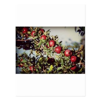 Vintage Apple Tree Post Card