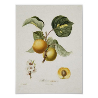 Vintage Apricot Poster