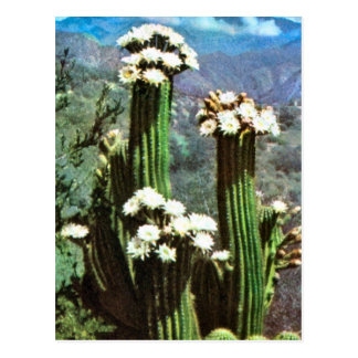 Vintage Argentina, Flowering Cactus Postcard