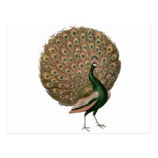 Vintage art Peafowl (peacock) plummage green gold Postcard
