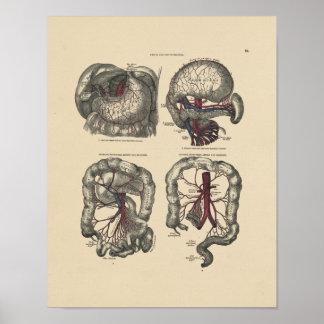 Vintage Artery Anatomy 1880 Print