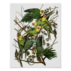 Matte Poster with Audubon's Carolina Parakeet design