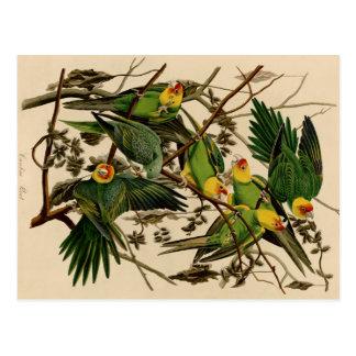 Vintage Audubon Parrot Postcard