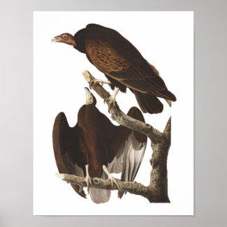 Vintage Audubon Turkey Vulture Poster Print