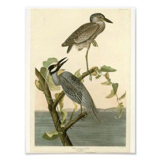 Vintage Audubon's Yellow crowned night heron paint Photographic Print