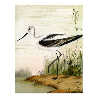Vintage Avocet Birds, Marine Life Shorebirds Postcard