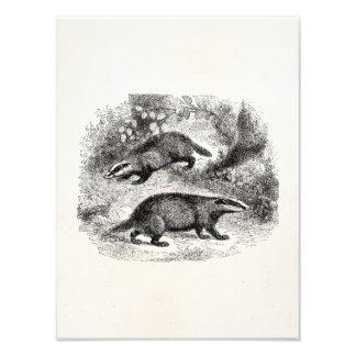 Vintage Badger 1800s Badgers Illustration Photo Print