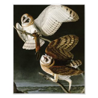 Vintage Barn Owls Illustratation (Audubon) Photo Print