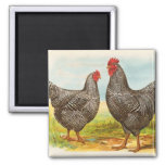 Vintage Barred Plymouth Rock Chickens Magnet