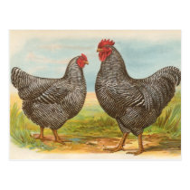 "Vintage ""Barred Plymouth Rock Chickens"" Postcard"