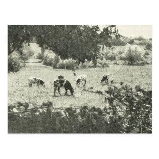 Vintage Bas Normande,  pastures Postcard