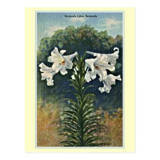 Vintage Bermuda Lilies, Bermuda Postcard
