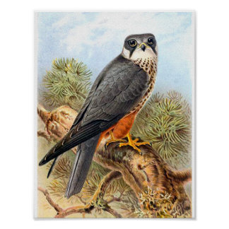 Vintage Bird Art Eurasian Hobby Illustration Poster