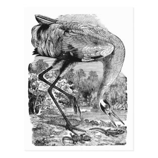 Vintage Bird Illustration | BW | Whooping Crane Postcard