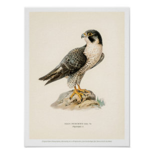 490e2a3841f80 Vintage Bird Illustration- Peregrine Falcon Poster