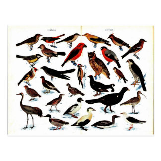 Vintage Birds Illustration Postcard