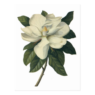 Vintage Blooming White Magnolia Blossom Flowers Postcard