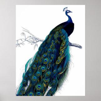 Vintage Blue Elegant Colorful Peacock Poster