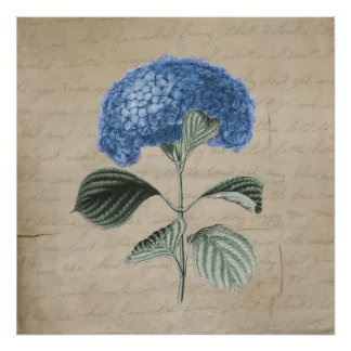 Vintage Blue Hydrangea on Old Parchment Poster