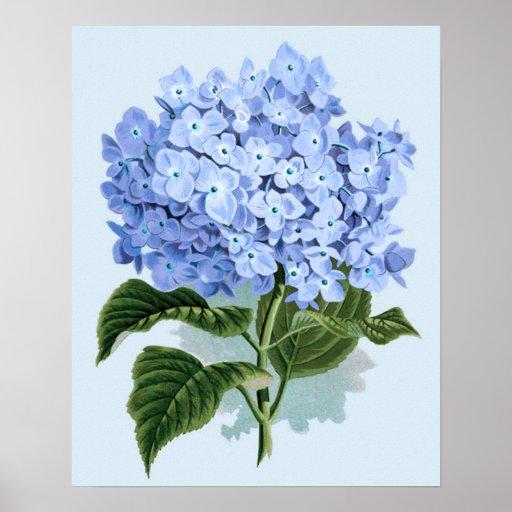 Vintage Blue Hydrangea Poster