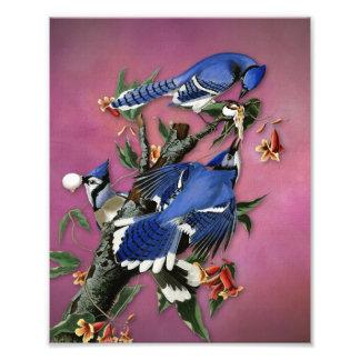 Vintage Blue Jays Illustration (Audubon) Photo Print