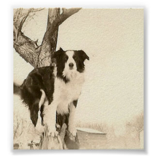 Vintage Border Collie Poster