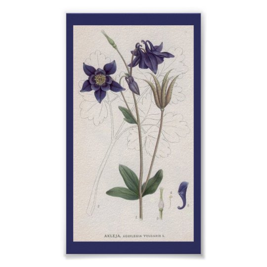 Vintage Botanical Art-aquilegia-vulgaris Poster
