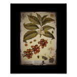 Vintage Botanical Coffee Picture Poster