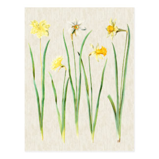 Vintage Botanical Daffodils Illustration Postcard