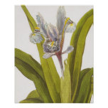 Vintage Botanical Floral Poster; Iris