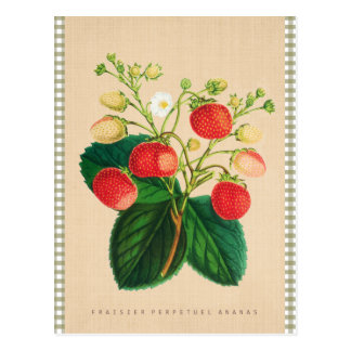 Vintage Botanical - Fraisier Perpetual Ananas Postcard