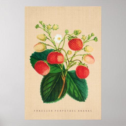 Vintage Botanical - Fraisier Perpetual Ananas Poster