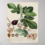 Vintage Botanical Poster - Fig