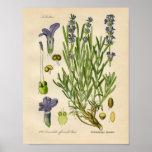 Vintage Botanical Poster - Lavender
