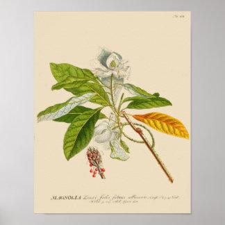 Vintage Botanical Poster - Magnolia Flower