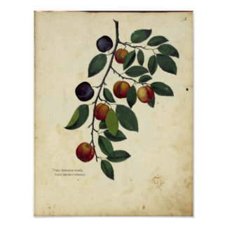 Vintage Botanical Poster - Plum