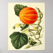 Vintage Botanical Poster - Pumpkin