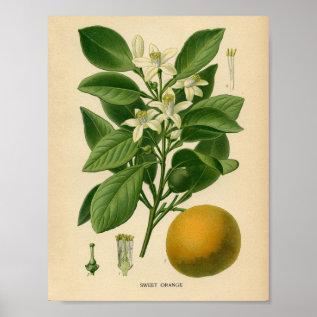 Vintage Botanical Poster - Sweet Orange at Zazzle