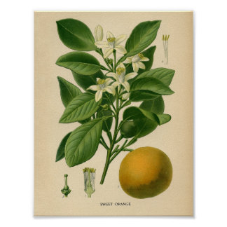 Vintage Botanical Poster - Sweet Orange