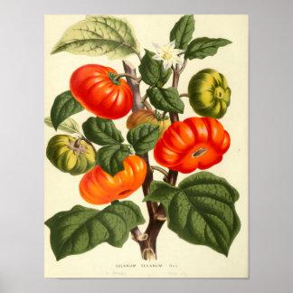 Vintage Botanical Poster - Tomato
