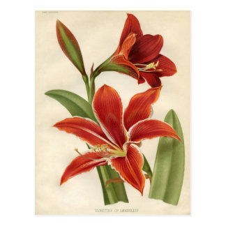 Vintage Botanical Print - Amaryllis Postcard