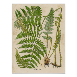 Vintage Botanical Print - Bracken / Ferns