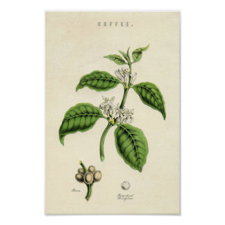 Vintage Botanical Print - Coffee