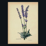 """Vintage Botanical Print - Lavender<br><div class=""""desc"""">Perfect for botanists,  gardeners and all other nature lovers,  this vintage lavender print will bring a touch of elegance to any space.</div>"""