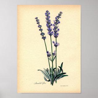 Vintage Botanical Print - Lavender at Zazzle