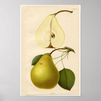 Vintage Botanical Print - Pear