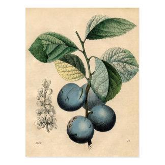Vintage Botanical Print - Plum Postcard