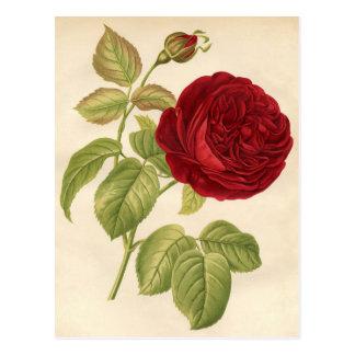 Vintage Botanical Print - Red Rose Postcard